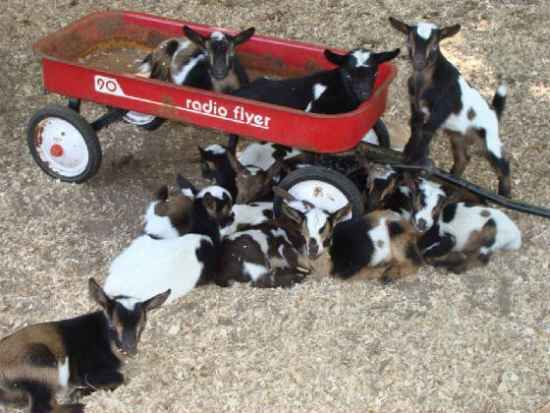 17-toys-for-goats-to-keep-them-busy