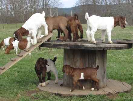 2-toys-for-goats-to-keep-them-busy