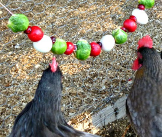 22-homemade-healthy-treats-for-chickens