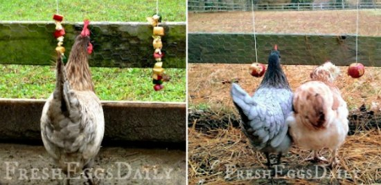 25-homemade-healthy-treats-for-chickens