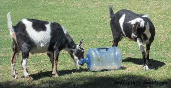 3-toys-for-goats-to-keep-them-busy