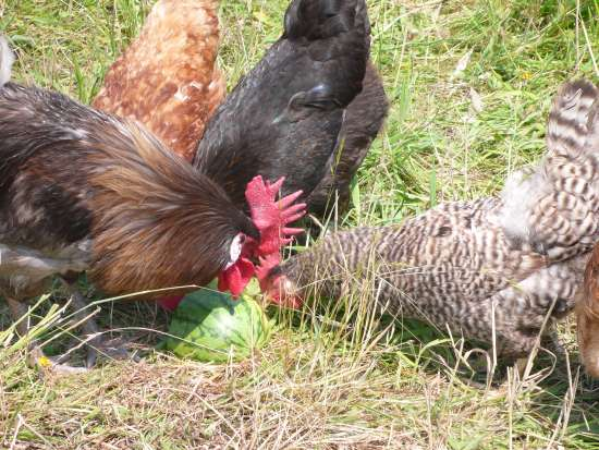 4-homemade-healthy-treats-for-chickens