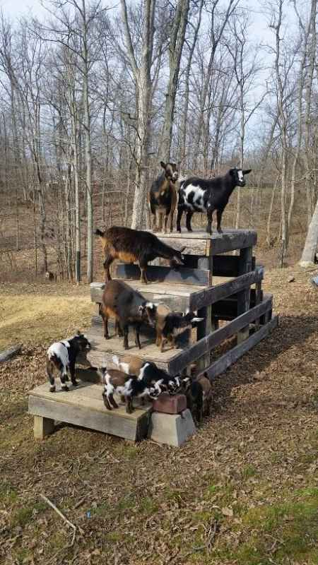 7-toys-for-goats-to-keep-them-busy