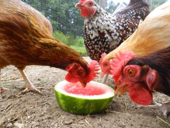 8-homemade-healthy-treats-for-chickens