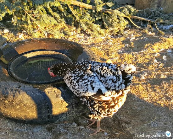 keep-your-chickens-water-from-freezing