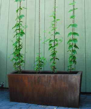 15-garden-plants-to-grow-vertically-this-year