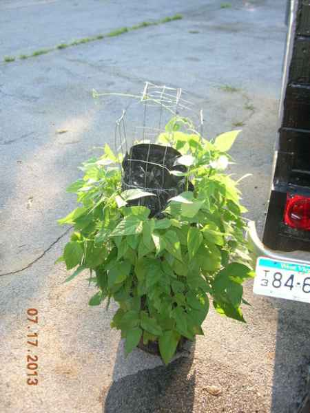 7-garden-plants-to-grow-vertically-this-year