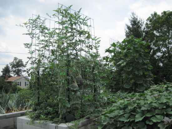 8-garden-plants-to-grow-vertically-this-year