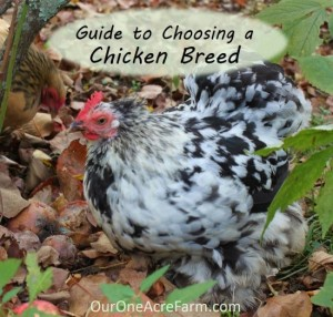 Essential Guide To Choosing Chicken Breeds