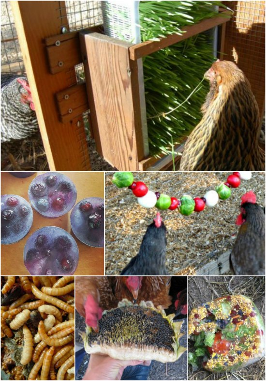 homemade-healthy-treats-for-chickens