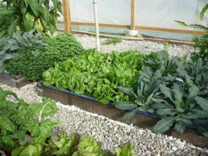 Aquaponics Guide – How You Can Grow 10 Times The Food In Half The Time