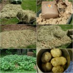 Grow Lots Of Dirt Free Potatoes With Hay (How-To Guide)