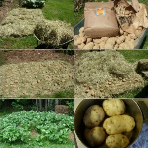 grow-lots-of-dirt-free-potatoes-with-haygrow-lots-of-dirt-free-potatoes-with-hay