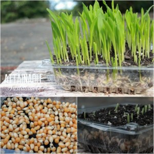 How To Grow Organic Popcorn Microgreens