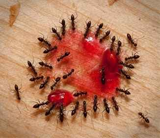 1-diy-effective-and-antural-ant-killer-recipes