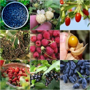 berry-bushes-to-grow-in-your-yard