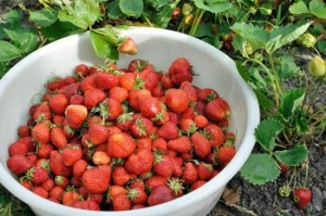 How To Grow Buckets Of Strawberries