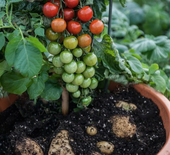 grow-tomatoes-and-potatoes-on-the-same-plant