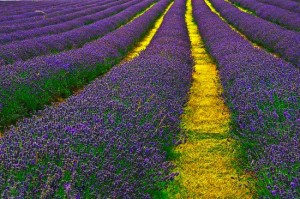 How To Plant A Lavender Hedge