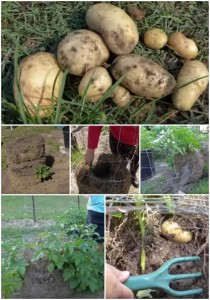 How To Grow Potatoes With Spud Towers