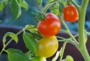 All About Tomatoes For Spring Planting